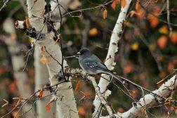 Bird in a birch tree