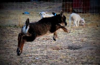 Leaping lamb