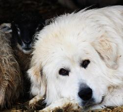 Dugur, LGD with a lamb