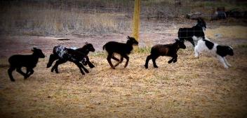 Jumping Lambs