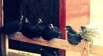 little chicks