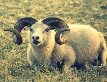 James Dean, Icelandic ram