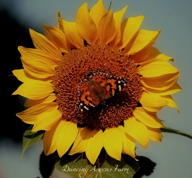 Sunflower, butterfly, bee