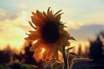 Sunset Sunflower