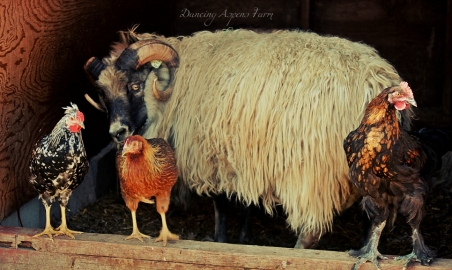 Draumur our Icelandic Ram with his chicken friends