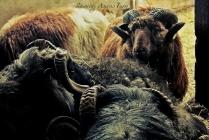 Icelandic Rams