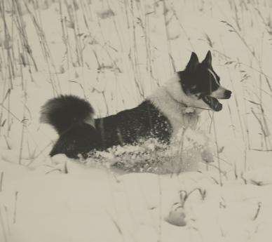 Kletta, Icelandic Sheepdog