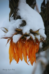 Snow covered Sunflower