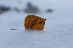 Aspen leaves in snow