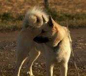Gunnar, Icelandic Sheepdog