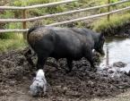 Bellah Moving a Bull