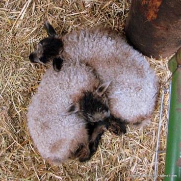 Badgerface, Icelandic Lambs