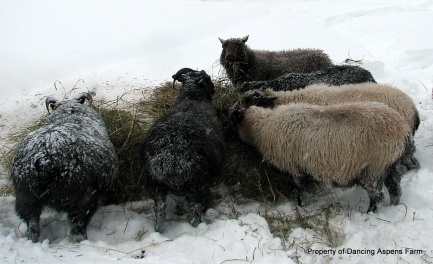 Icelandic Sheep in Snow