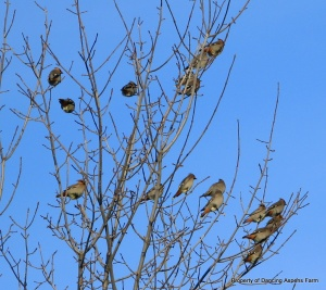 Cedar Waxwings in tree...