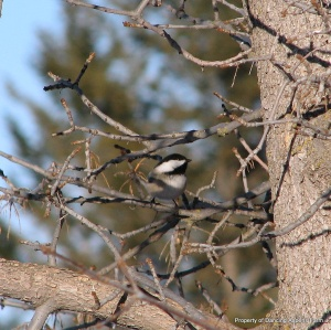 A Black-Capped Chickadee by the Feeder