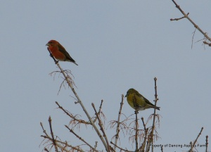 Mr. and Mrs. Red Crossbill