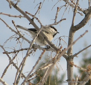 A Mountain Chick-Chick-Chikadee