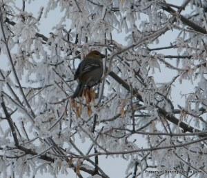 Grosbeak on a frosty tree...