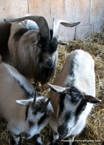 The goatys' secure in their pen...