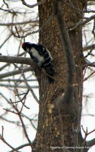 Downy Woodpecker...