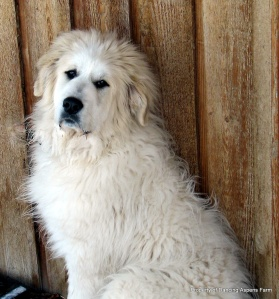 A Dugur dog...