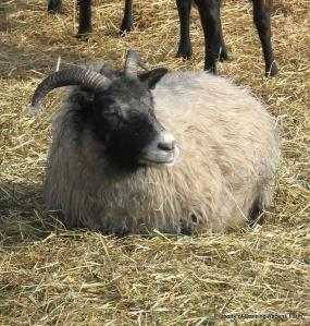Garrett's grey ewe Grizzel, dozing...