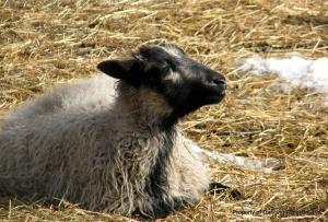 Badgerface ewe soaking up the sun...