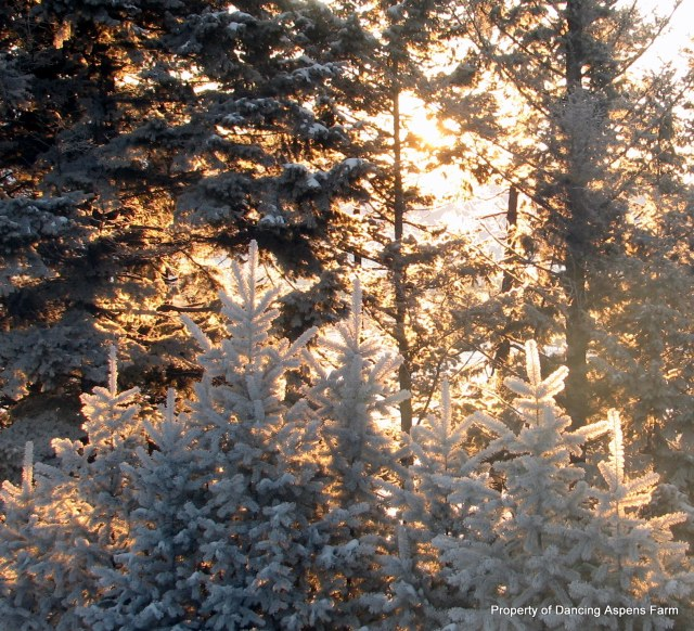 Morning sun streaming through the frosty trees....