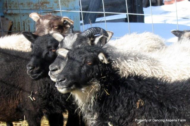 Icelandic Ewe Lambs hanging out...