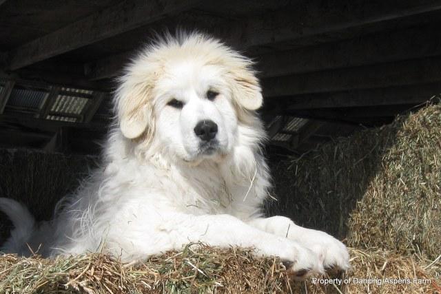 Dugur posing in the hay...