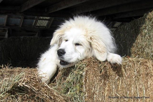 Dugur dozing in the sun...