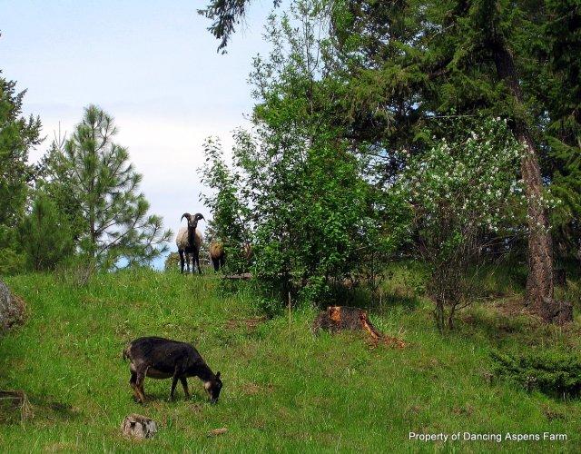Icelandic Sheep on spring pasture....