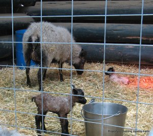 Another view of the lambs...