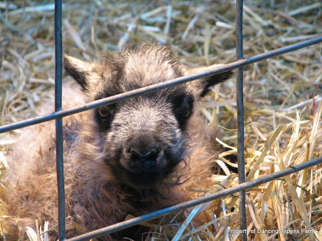 Icelandic Lamb, just a day old!