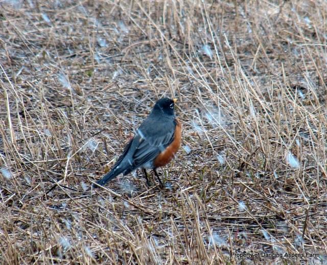 Robin in snow...