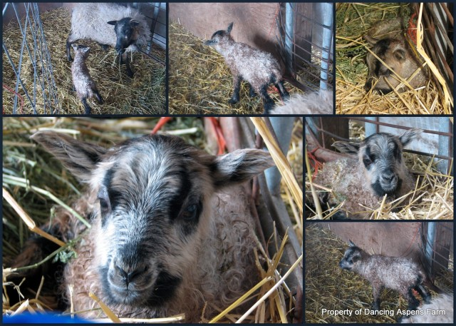 A Black Spotted? Badgerface Ewe Lamb...