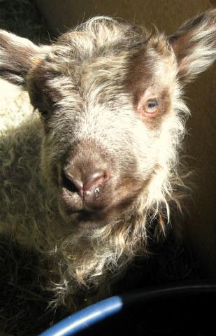 Icelandic Lamb being to cute...