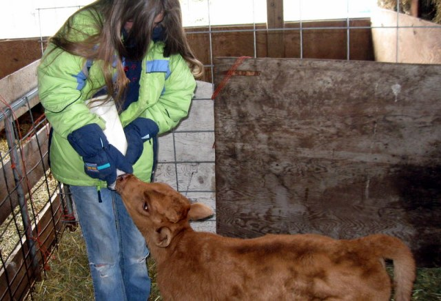 Tori bottle-feeding the heifer...