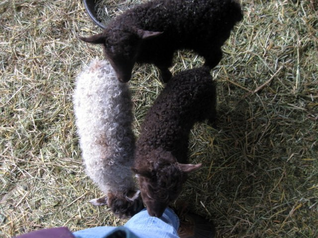 A trio of trouble-makers nibbling my pants while bottle-feeding the calf...