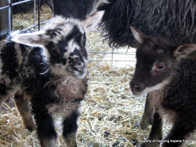 Our first ever mouflons born in our flock!