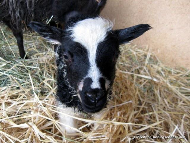 Kaffi's black spotted ewe lamb, weighing in at 10lbs. 4oz!