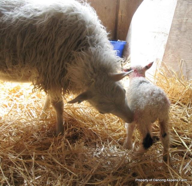 Louisa and Blotch, Sawyer's sheep.