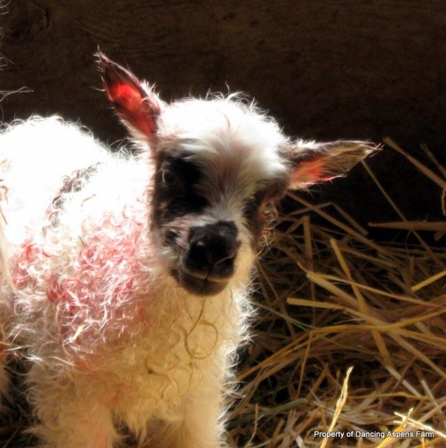 Louisa's moorit (I believe anyway) spotted lamb.