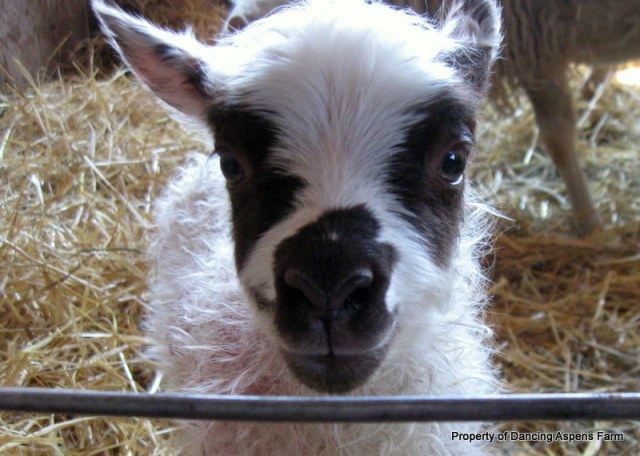 A cute lamb...