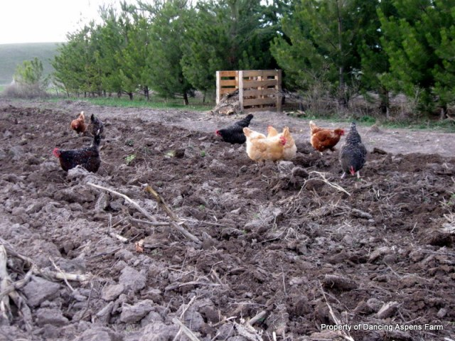 The hens were loving were Mark had worked up the garden!