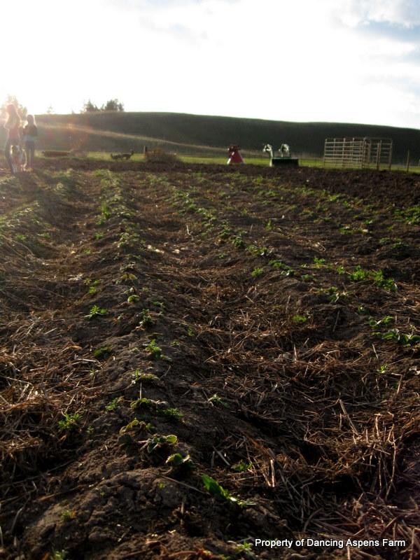 Strawberry rows that need weeding already...