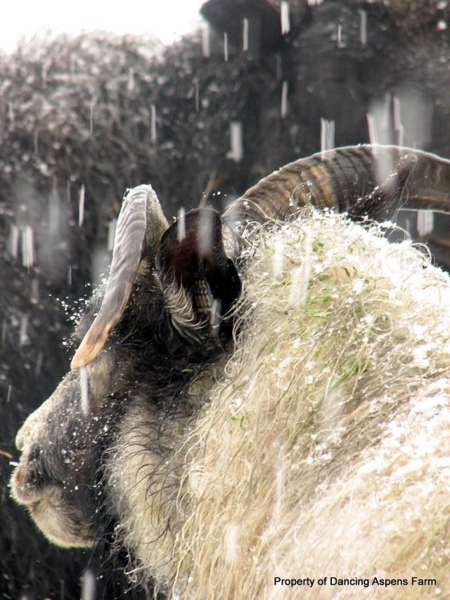 Grizel being snowed on...