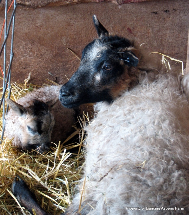 Another lamb picture...