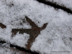 Chicken tracks in the snow...