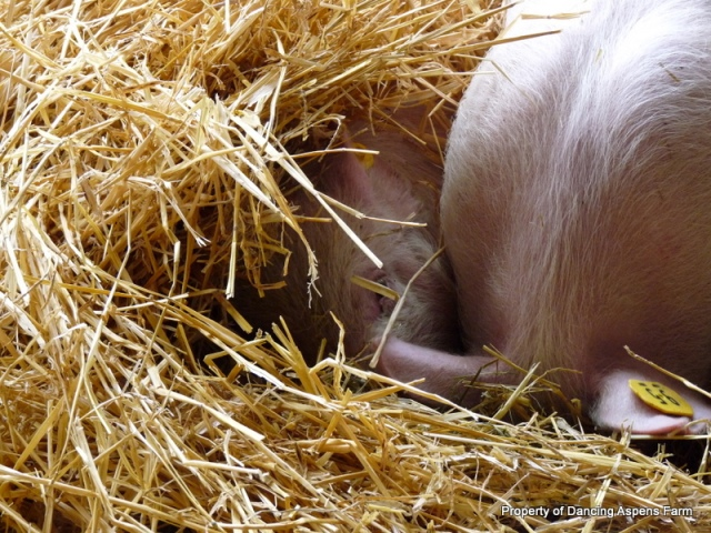 The pigs burrowing down into the straw trying to warm up...